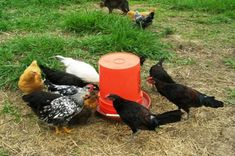 Last week we began preparing for the 50 meat chickens we were about to get in the mail. We hit the farm supply store to get two new feed troughs and waterers. As I was looking at the metal waterers, I noticed the price tag Backyard Chicken Coops, Diy Chicken Coop, Chickens Backyard, Laying Chickens, Pet Chickens, Homemade Chicken Waterer, Automatic Chicken Waterer, Chicken Feeders, Building A Chicken Coop