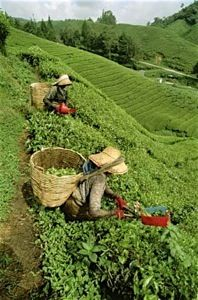 Harvesting Tea in China