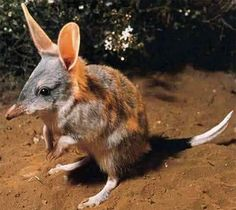 Bilbies are desert-dwelling marsupial omnivores; they are members of the order Peramelemorphia. Before European colonisation of Australia, there were two species. One became extinct in the 1950s; the other survives but remains endangered.