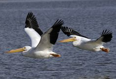 American White Pelicans stop by Grand Lake on their annual migration.  Photo by R. C. Livesay.