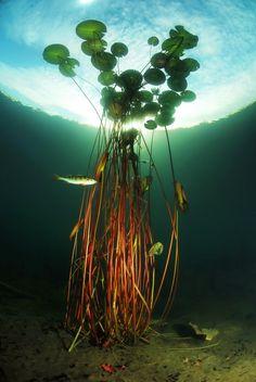 water lilies from below