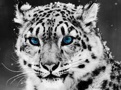 Beautiful Snow Leopard..