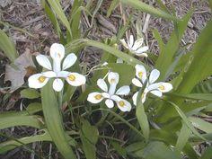 Iris odaesanensis photo #2