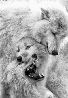 Wolves playing.