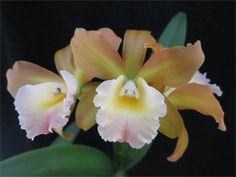 Name Your Own Orchid Hybrid for $1500 -- The perfect gift for the orchid lover who has everything!