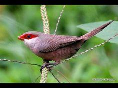 O bico-de-lacre é uma ave passeriforme da família Estrildidae. Conhecido também como beijo-de-moça (Minas Gerais), bico-de-lacre-comum, bico-de-lata (Santa C...