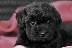 Black brown and tan havanese puppies for sale in california lovable