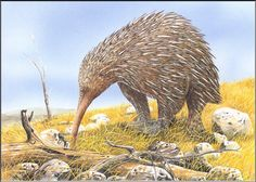 Art illustration - Prehistoric Mammals - zaglossus hacketti: is an extinct species of long-beaked echidna known only to a few fossil bones from Western Australia and dated in the Upper Pleistocene, originally discovered in 1914 by Ludwig Glauert. Animals Images, Animals And Pets, Animal Pictures, Prehistoric World, Prehistoric Creatures, Prehistoric Wildlife, Mythological Creatures, Vida Animal, Echidna