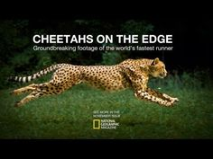 Cheetahs on the Edge — Director's Cut. Stunning footage of a cheetah running at full speed. Read more about how this big cat can accelerate to over 60mph on the Thomson Safaris blog: http://blog.thomsonsafaris.com/safari/fast-cheetah-run-bigcat-facts