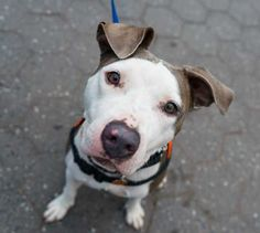 Meet Lucy, a Petfinder adoptable Pit Bull Terrier Dog | New York, NY