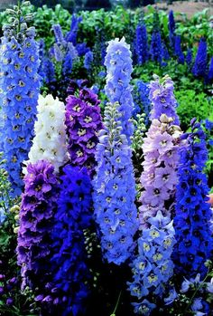 Blue Delphiniums. Gorgeous!