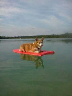 Corgi on a raft : )