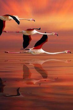 flamingos reflected | Nasser Osman
