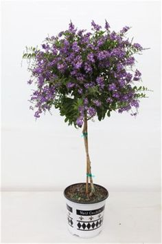Duranta 'Sapphire Showers' Patio Tree - Love it! It reminds me of lilac bushes. Since it's too hot in AZ for lilac bushes, I need to look into this as a possibile stand-in! Outdoor Landscaping, Outdoor Plants, Outdoor Gardens, Backyard Pavers, Backyard Plants, Outdoor Fun, Outdoor Ideas, Landscaping Ideas, Purple Flowering Plants