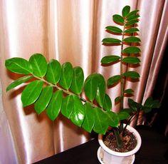 Замиокулькас замиелистный  (Zamioculcas zamiifolia Lodd. et al. Engl.)