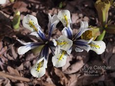 Reticulata Iris:    Eye Catcher Iris Eye, Bulb Flowers, Catcher, Bulbs, Plants, Bulb, Plant, Planting, Planets