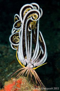 Crinoid (Feather Star), Anilao, Philippines, Photo by Karen Honeycutt Beautiful Sea Creatures, Deep Sea Creatures, Animals Beautiful, Unusual Animals, Underwater Creatures, Underwater Life, Underwater Photos, Underwater Photography, Film Photography