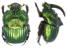 Phanaeus mexicanus - This species of beetle is of the family Scarabaeidae - Image : © Dr U Schmidt 2006