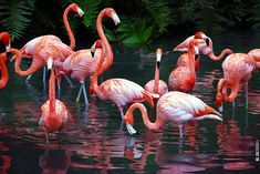 flamingos pictures | 19 Beautiful Flamingo Pictures A Flamboyance of Flamingos.