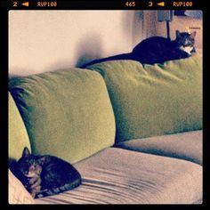 """O hai, ur home urly…"" #SimonAndStellaCats #Stella #Simon #cats #cat #kitty #kitteh #gato #monkeybuns #furpig #neko (at La Kitteh Inn Pacifica Beach Hideway)"