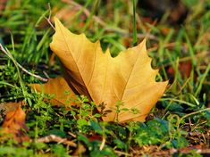 Free Image on Pixabay - Maple Leaf, Autumn, Leaves, Nature Nature Wallpaper, Cool Wallpaper, Nature Collection, Maple Tree, Acer, Free Pictures, Autumn Leaves, Lawn, Grass