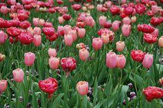 pretty pink tulips at the Dallas Arboretum