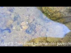 Salamander life cycles E2: Two lined salamander - YouTube