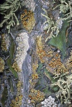 Mixed lichens on cactus bark. By Stephen Sharnoff