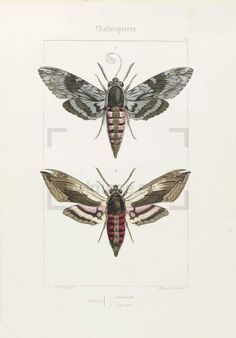 Repro Insect Print From /'The Cabinet of Oriental Entomology/' #011