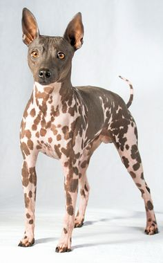 What do you know about the American Hairless Terrier? This breed is especially great for allergy sufferers!