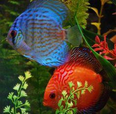 1468 best freshwater aquarium fish images freshwater aquarium