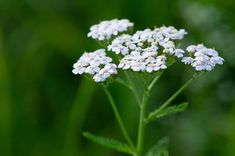 Interested in herbal medicine? We've rounded up 17 of the most essential (and beautiful) medicinal flowers for your home garden. Free Pictures, Free Photos, Free Images, Achillea Millefolium, Medicinal Plants, Flowers Nature, Herbal Medicine, White Flowers, Planting Flowers