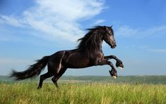 black horse. Although not particular on color or breed...I do love this sport and horses.