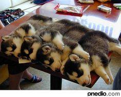11- Sibirya Kurdu Yavruları