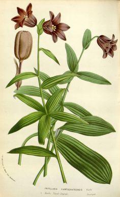 Fritillaria biflora - circa 1845