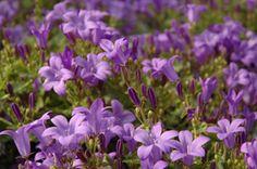 Kukkainfo > Tietoa kukista > Kasvit A–Ö