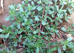 Portulaca Oleracea, Tea Plant, Home Health Remedies, Good Housekeeping, Plantar, Spirulina, Medicinal Plants, Fruits And Vegetables, Garden Projects