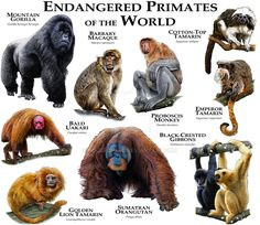 Fine art illustration of various species of endangered primates Extinct Animals, Rare Animals, Animals And Pets, Strange Animals, Primates, Mammals, Animals Information, Animal Species, Endangered Species