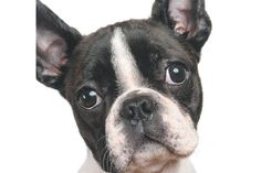 You Can Read Health Issues for Brachycephalic or Flat-Faced Dogs