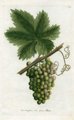 Johann Weinmann botanical illustration of grapes