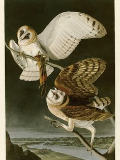 ? maybe fore one of those huge wall mural prints?   Barn Owl by John James Audubon