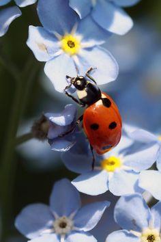Ladybug on a forget-me-knot