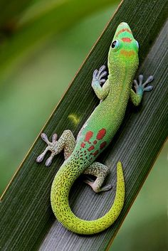 "I once owned a Day Gecko like this one.   They are very fun to watch with their vibrient colors and adorable   personalities. I would catch moths for him and watch him climb around the tank   after them. Once he caught one he would move his head from side to side to show   off what he caught to the other lizards in the tank. Kind of like he was saying   ""Na na na na na you didn't get it, I did!""."