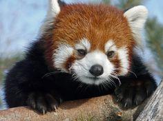 Красная панда. Фото