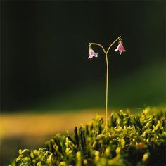 This is a Linnaea Borealis, everyone.more commonly known as a twin flower. All the same, it is by all rights a LINNEA FLOWER. Crysanthemum, Color Psychology, Edible Plants, Lily Of The Valley, Water Lilies, Summer Flowers, Places Around The World, My Flower, Daffodils