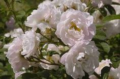 Rosa rugosa Sävel At/Co(KOTIM.TARHAKURTTURUUSU)