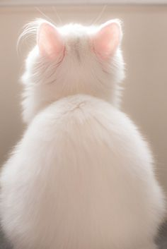 Kitten with pink ears.