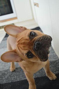 Fotka uživatele Dominika A Dodo. French Bulldog