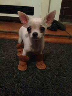 Effective Potty Training Chihuahua Consistency Is Key Ideas. Brilliant Potty Training Chihuahua Consistency Is Key Ideas. Teacup Chihuahua, Chihuahua Love, Chihuahua Puppies, Cute Puppies, Cute Dogs, Dogs And Puppies, Funny Chihuahua, Doggies, Cute Baby Animals