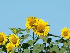 Sunflowers by shannonwelihan, via Flickr